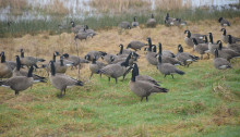 Canada geese at Nisqually National Wildlife Refuge