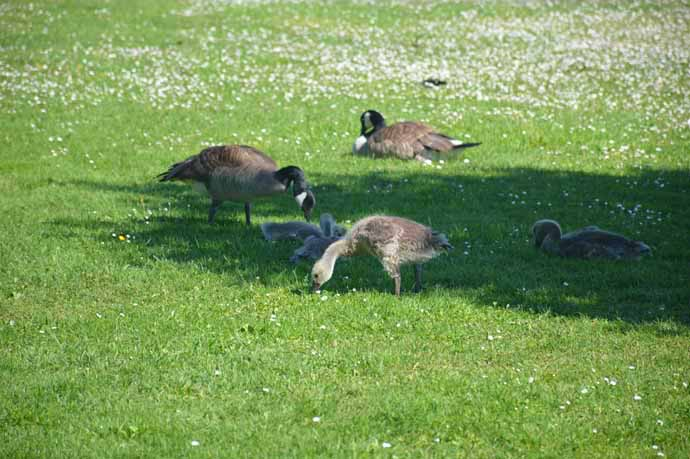 umwelt: Canada geese foraging for food on lawn, Tacoma, WA