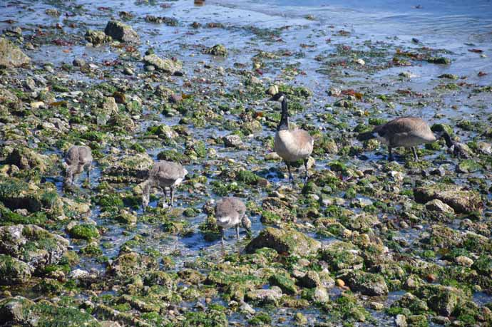 umwelt: Canada geese walking on rocky shore near Lobster Shop, Tacoma, WA