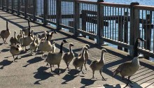 umwelt: Canada geese walking on dock near the Lobster Shop, Tacoma, WA