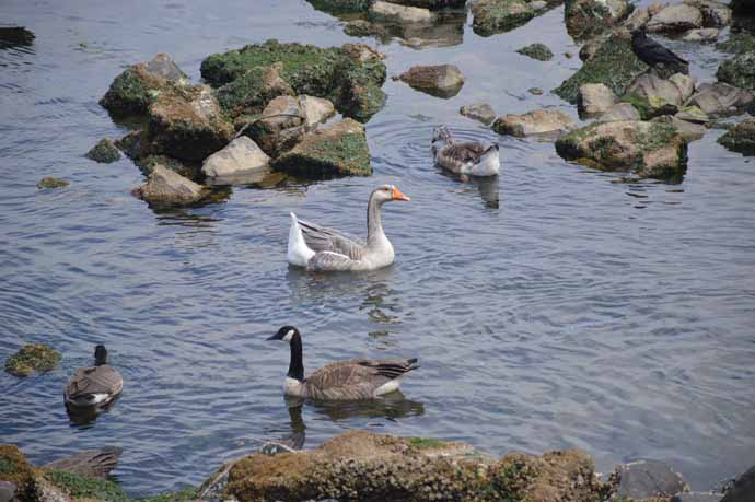wildlife - Greater White-Fronted Goose and Canada Geese